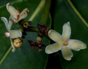 Clusia stenophylla Flower