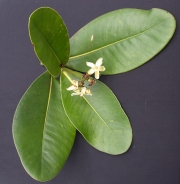 Clusia stenophylla Flower Leaf