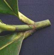 Clusia stenophylla Leaf
