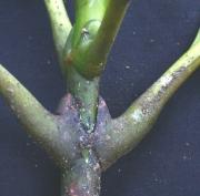Dystovomita paniculata Leaf