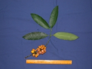 Garcinia intermedia Fruit Leaf