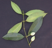 Garcinia madruno Fruit Leaf