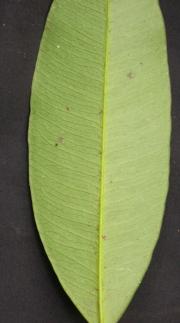 Garcinia madruno Leaf