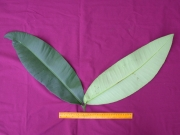 Mammea immansueta Leaf