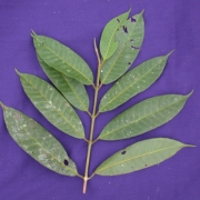 Marila domingensis Leaf