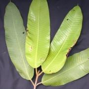 Marila lactogena Leaf