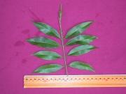 Symphonia globulifera Leaf