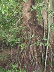 Symphonia globulifera Root