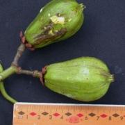 Tovomita longifolia Fruit