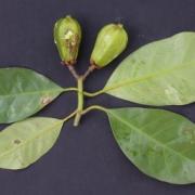 Tovomita longifolia Fruit Leaf