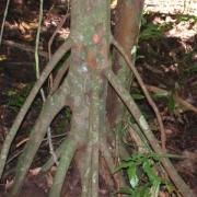 Tovomita longifolia Trunk