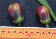 Tovomita weddelliana Fruit