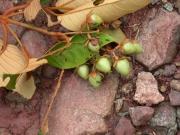 Vismia baccifera Fruit