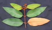 Vismia baccifera Flower Leaf