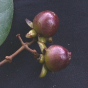Vismia jefensis Fruit