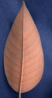 Vismia jefensis Leaf