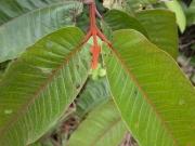 Vismia macrophylla Leaf