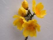Cochlospermum vitifolium Flower
