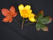 Cochlospermum vitifolium Flower Leaf