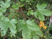 Cochlospermum vitifolium Leaf