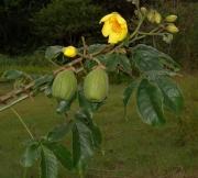 Cochlospermum vitifolium Flower Fruit Leaf