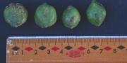 Buchenavia tetraphylla Fruit