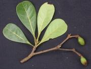 Buchenavia tetraphylla Fruit Leaf