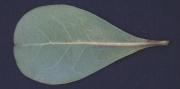 Buchenavia tetraphylla Leaf