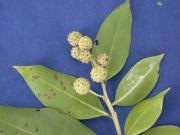Conocarpus erectus Fruit Leaf