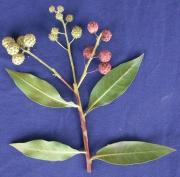 Conocarpus erectus Flower Fruit Leaf