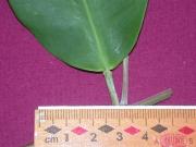 Laguncularia racemosa Gland