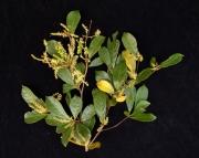 Terminalia amazonia Flower Leaf