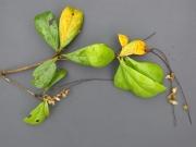 Terminalia amazonia Fruit Leaf
