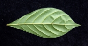 Terminalia amazonia Leaf