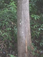 Terminalia amazonia Trunk