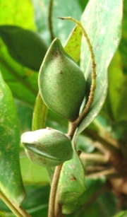 Terminalia catappa Fruit