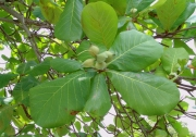 Terminalia catappa Fruit Leaf