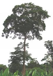 Terminalia oblonga
