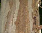 Terminalia oblonga Bark