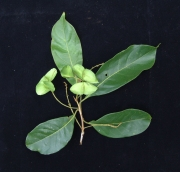 Terminalia oblonga Fruit Leaf