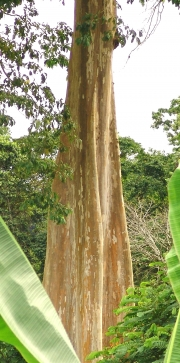 Terminalia oblonga Trunk