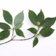 Cornus disciflora Flower Leaf