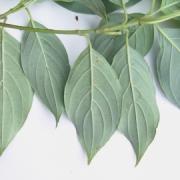 Cornus disciflora Leaf