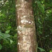 Cornus disciflora Trunk