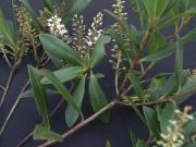 Cyrilla racemiflora Flower Leaf