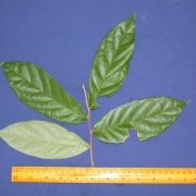 Dichapetalum axillare Leaf