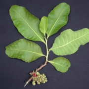 Curatella americana Fruit Leaf