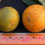 Diospyros artanthifolia Fruit