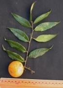 Diospyros artanthifolia Fruit Leaf