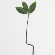 Diospyros artanthifolia